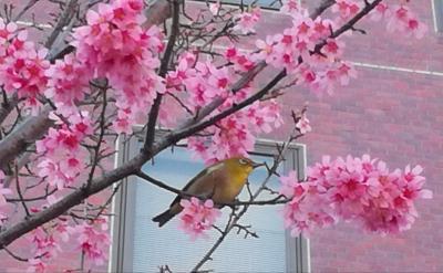 東京で琉球寒緋桜