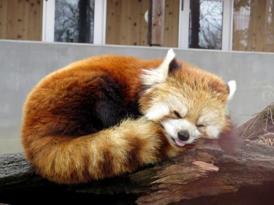 真冬のレッサーパンダ紀行【12】 長野市茶臼山動物園 今年は繁殖優先で毎年恒例の「おもちゃ作り」イベントがなかったので普段着の茶臼を訪問しました