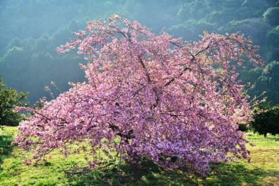 豊前の河津桜 2018
