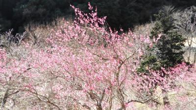 2018湯河原梅林と奥湯河原温泉