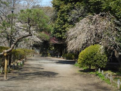 春の訪れを観に善福寺公園散策