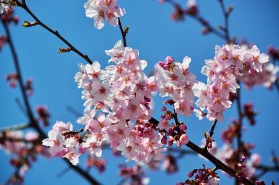 別府の早咲き桜2018