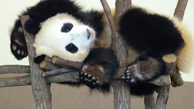 和歌山観光(02) アドベンチャーワールド パンダラブのパンダの子供たち。静止画と動画3編。