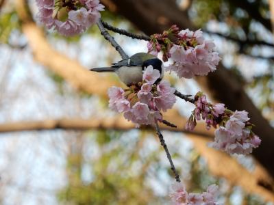 花見の準備が着々と進む上野公園