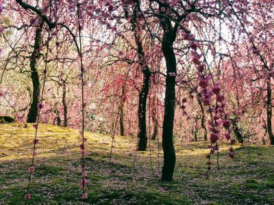 鳥と人が狂喜乱舞の城南宮の梅と、伏見の酒と京料理に舌鼓 春の京都をふらふら歩く。後篇