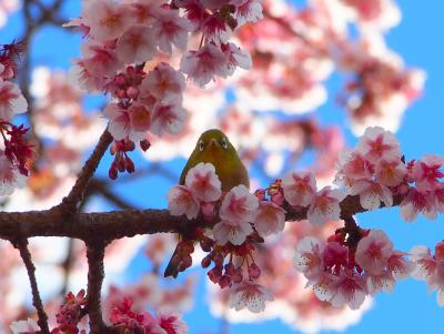 寒い日が続いたので、春を求めてあたみ桜を見に熱海へお出かけ