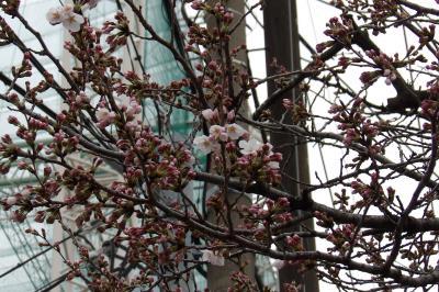 下平間小の桜が開花しつつあります