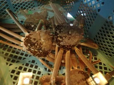 今年も行くカニ  間人(たいざ)蟹を食す