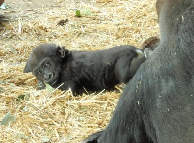 パンダだけじゃない 上野動物園の赤ちゃん♪ゴリラのリキくんとシャンシャン再び