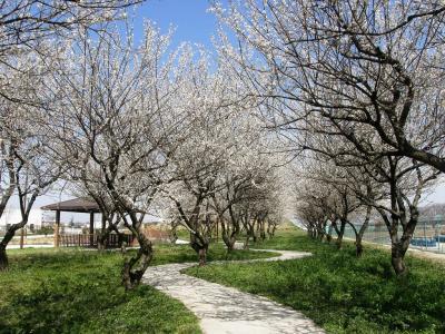 春を感じながら拡張された権現堂公園を歩きました