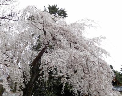 2017年京都 4月5日 その6 京都御苑の桜と梅
