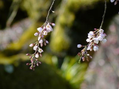 京都の桜は・・・!2018年