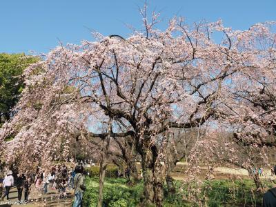 新宿御苑のお花見:ソメイヨシノが咲く前にも桜の花が楽しめます