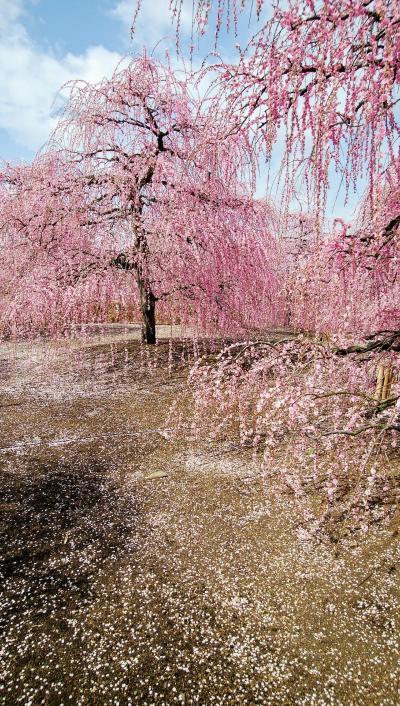梅満開。鈴鹿の森庭園