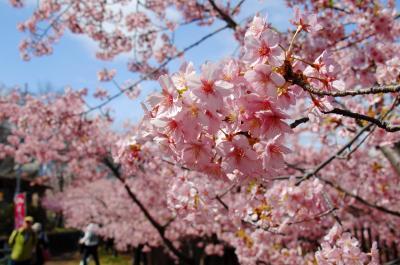 伏見淀水路の河津桜が満開でした♪
