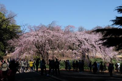 2018 新宿御苑 お花見に千駄ヶ谷駅から歩きます 満開の桜が待ってました。
