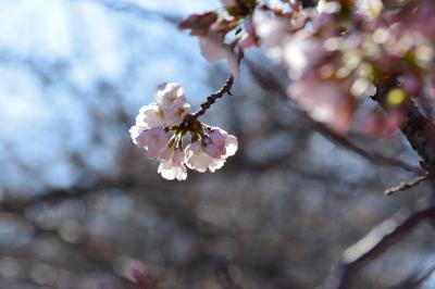2018春の訪れ 浜離宮の菜の花&目黒川の桜 開花宣言!