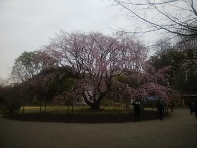 2018.3.19 六義園しだれ桜見学