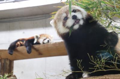 赤ちゃん大集合の春の埼玉こども動物自然公園(午前編)今度こそ屋外ではしゃぐコツメカワウソの赤ちゃんたちに会えた&目やにの跡が心配なレッサーパンダのミヤビちゃん