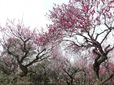 ふかや緑の王国のウメ_2018(2)_まだ咲いていますが、見頃は過ぎています。(埼玉県・深谷市)