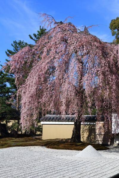 京都 早咲きの桜めぐり~高台寺、明保野亭、友禅苑、大石神社