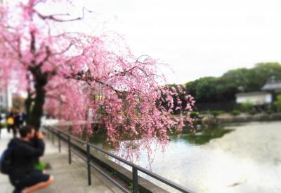 Japan さくら♪さくら♪ 芝公園から皇居のお濠へ ~ミツバチばあやの冒険~