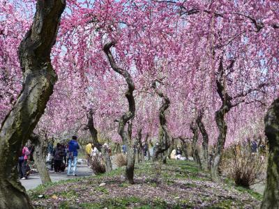 春だ、花だ! いなべ市梅林公園(三重県・いなべ)と木曽三川公園(岐阜県・海津)へ