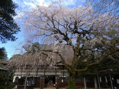 茂林寺のシダレザクラ_2018_まだ2~3分咲き、見頃はもう少し先です。(群馬県・館林市)