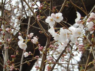 やっと咲き出した西鶴ケ岡公園の桜