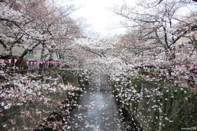目黒川沿いのお花見
