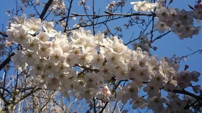 桜を見に鎌倉散策