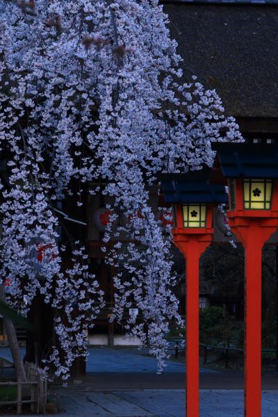 京都 早咲きの桜めぐり~平野神社、京都御苑、上品蓮台寺、京都府庁旧本館