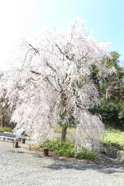 専念寺(横浜市港北区新羽町)の枝垂れ桜