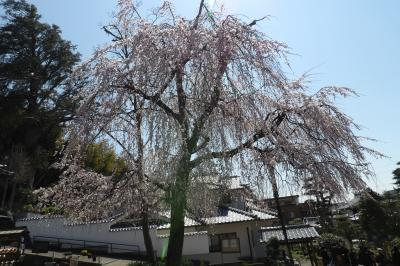 善教寺(横浜市港北区新羽町)の枝垂れ桜