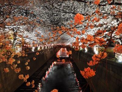 満開の目黒川のさくら2018 夜桜も幻想的