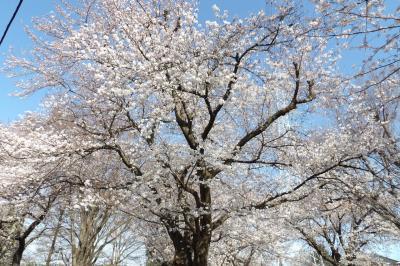 宮の原第一公園の桜