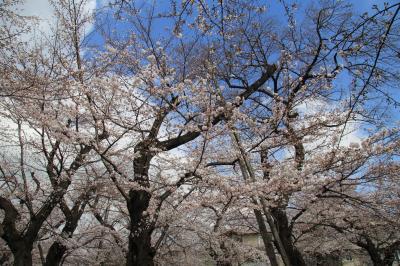 洗足池公園、桜坂、多摩川台公園 桜巡り2018年3月