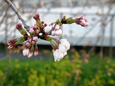 早朝ウォーキングで桜の開花状況を見ながら歩く
