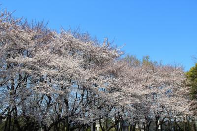 林試の森公園から碑文谷八幡桜巡り2018年3月