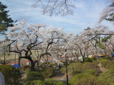 富士森公園の桜 2018/03/26