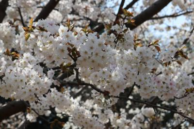 あざみ野~たまプラーザへ桜を求めて日帰り散策