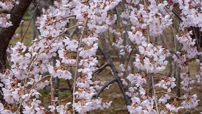 伊丹市東野地区の苗圃に咲く桜花 上巻。