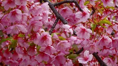 伊丹市東野地区の苗圃に咲く桜花 下巻。