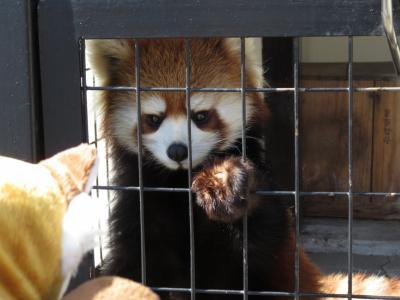 釧路リベンジはANA往復前泊日帰り強行軍(後編)今度こそレッサーパンダの子供のコキンちゃん!~コキンちゃんに遊んでもらい(?)、エゾクロテンのてんてんとアムールトラのココアちゃんに怒られた釧路市動物園