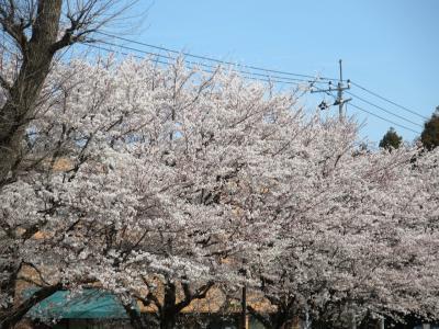 早稲田も多摩も都内各地で桜花満開 ソメイヨシノはエドヒガンとオオシマザクラの雑種を始源とするクローンであった。