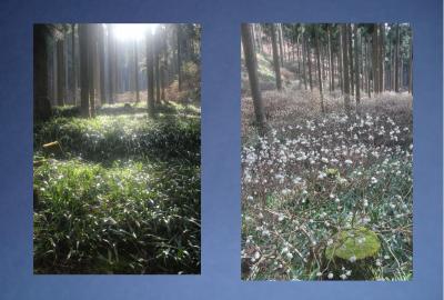 春を告げるミツマタ 奥上林 ※京都丹波高原国定公園 森林浴 オゾン