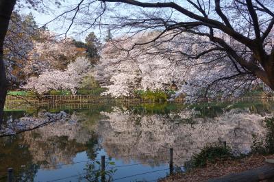 2018井の頭公園 満開の桜 おまけ画像つき