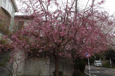 鎌倉山さくら通りの紅枝垂れ桜