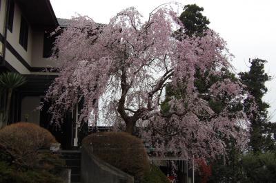 鎌倉山2のお宅の紅枝垂れ桜-2018年