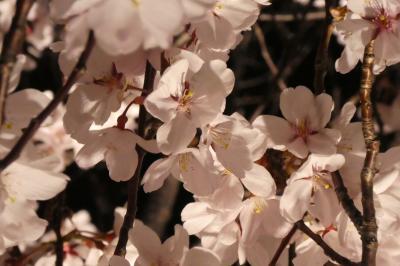 今年も桜巡り(予定)@狭山池公園の夜桜ライトアップへ